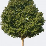 Northern Hard Maple Species Page