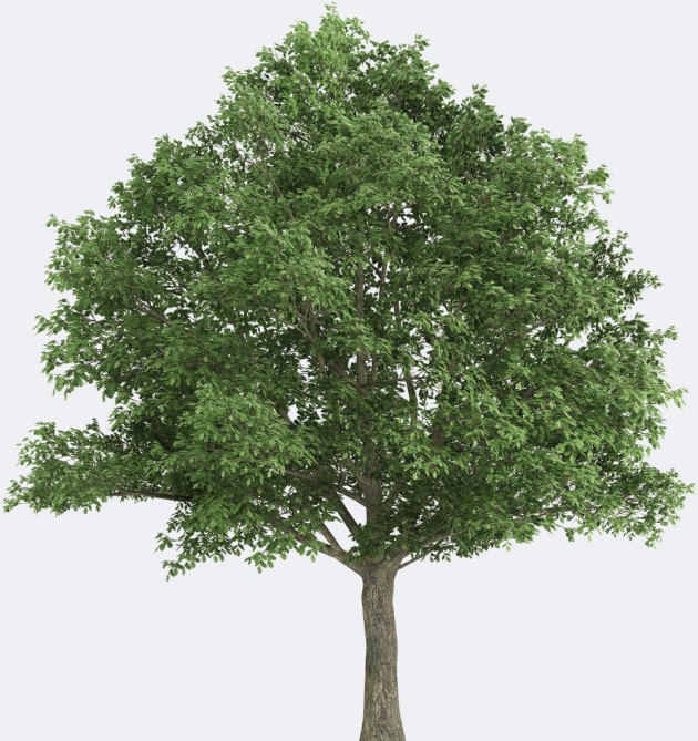 Northern Red Oak Species Page |