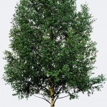 Yellow Birch Species Page