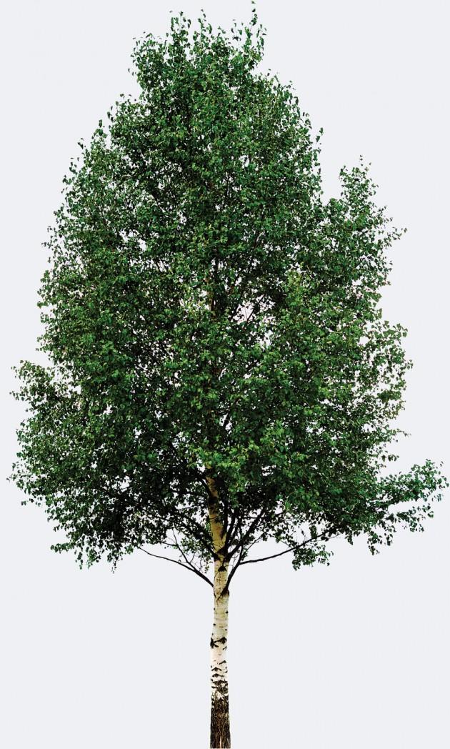 황색 자작 나무 회초리